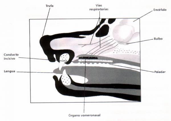 organo vomeronasal (2)