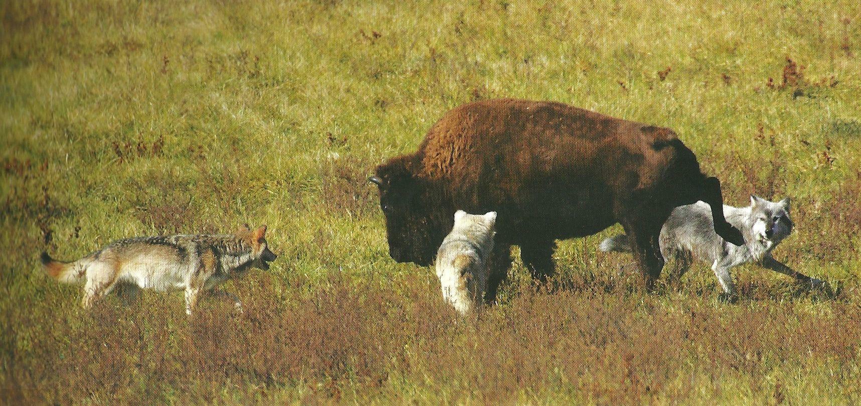 lobos-cazando-bisonte