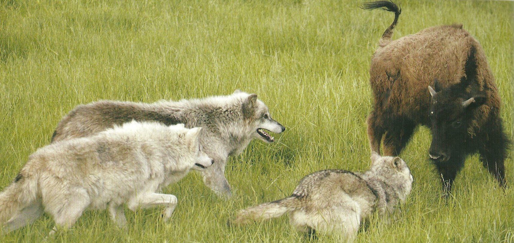 lobos-de-caza