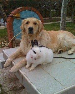 golden-y-conejo-tratamiento-para-convivencia-3
