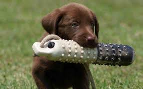 cachorro-cobro