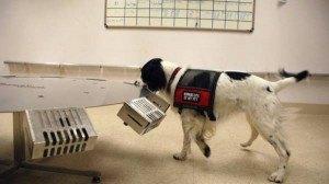 perros dectectores de enfermedades2
