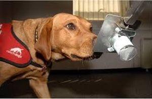 perros dectectores de enfermedades4